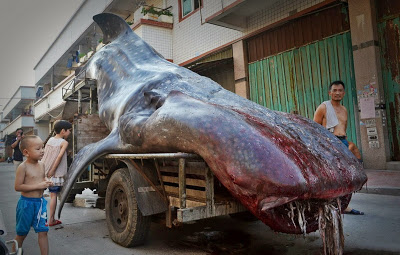 Biggest Shark Ever! Very Big Whale Shark Caught In China ...